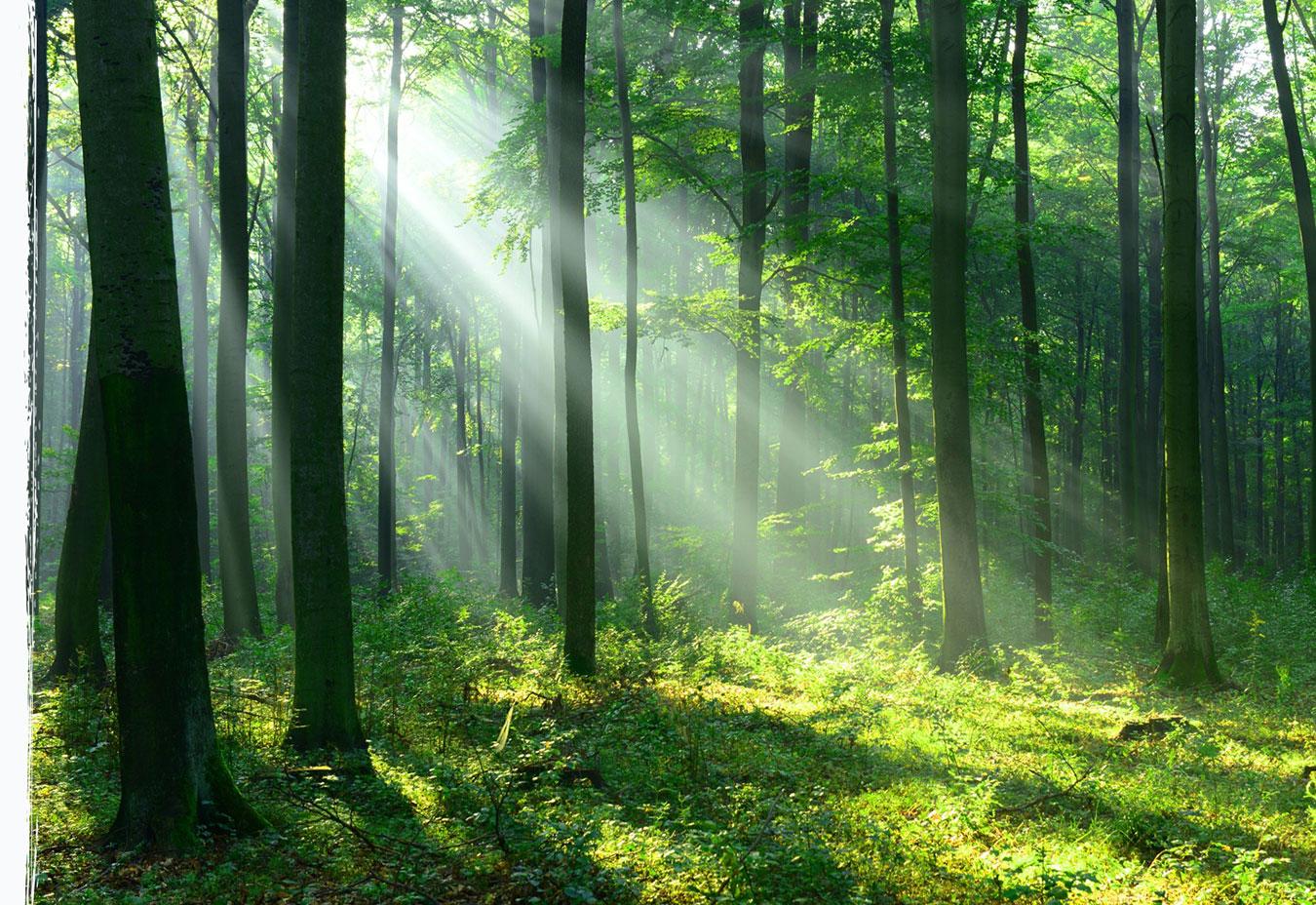 Wysokie, smukłe pnie drzew w lesie opromnienione snopem słonecznego światła