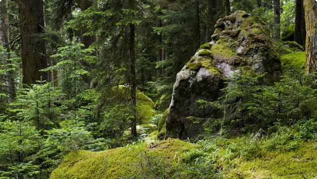 Gęsty las ze skałą porośniętą mchem